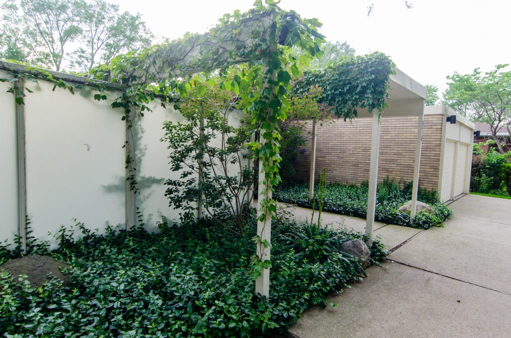 Ivy-covered walkway entrance to mid-century home with bushes in front