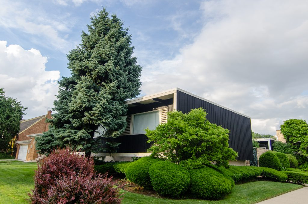 Mid-century home with blue paneling next to large pine tree and bright green bushes